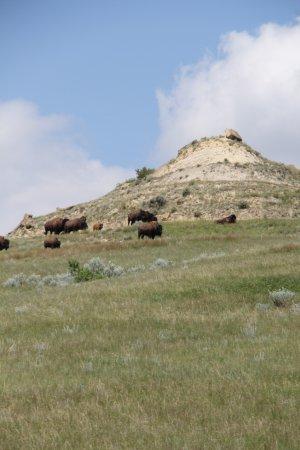 Theodore Roosevelt National Park: Bison herd!