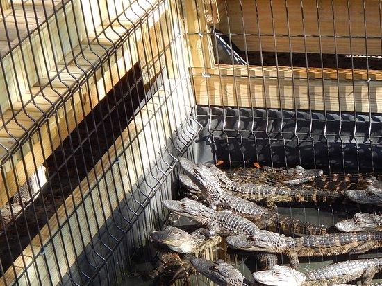 Wildwood, FL: Smaller Gators