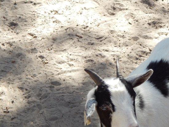 Wildwood, FL: Goat