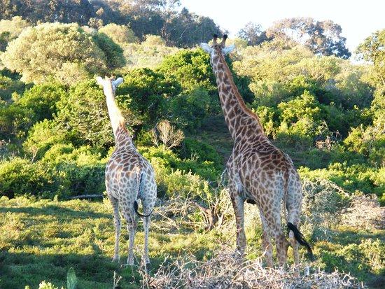 Paterson, Sydafrika: Giraffes