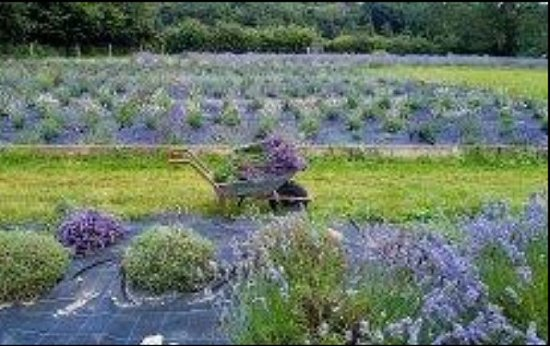 Inch, Ireland: This shows the lavender harvest last summer. Buy dried lavender and lavender-related artwork her