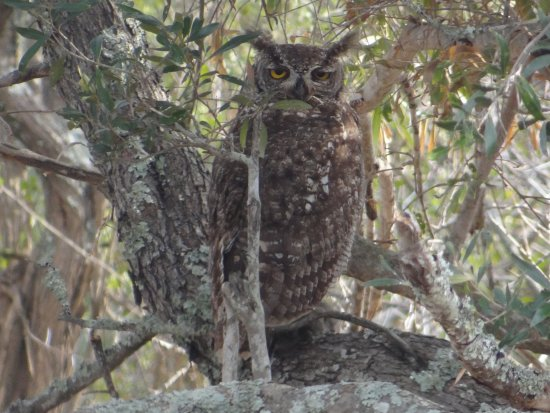 Kwandwe Private Game Reserve, Sudáfrica: Brown owl