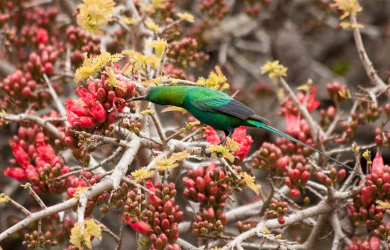 Kwandwe Private Game Reserve, South Africa: Malachite sunbird