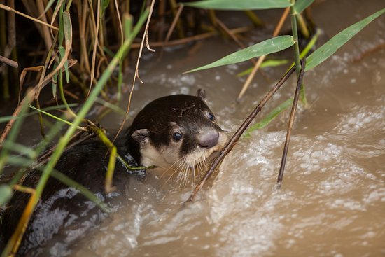 Kwandwe Private Game Reserve, South Africa: Cape clawless otter
