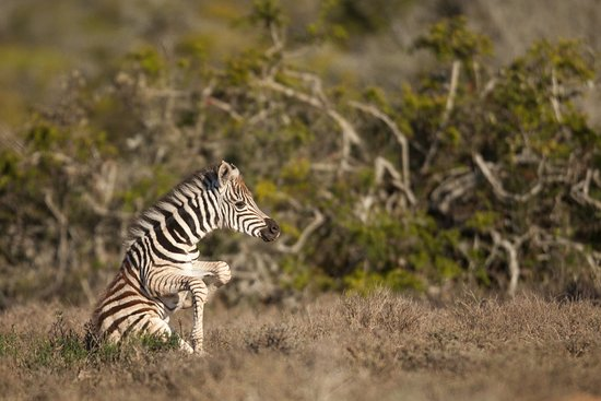 Kwandwe Private Game Reserve, South Africa: Young zebra