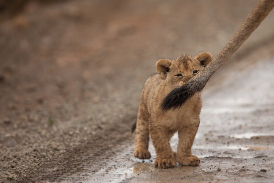 Kwandwe Private Game Reserve, South Africa: Lion cub biting a tail