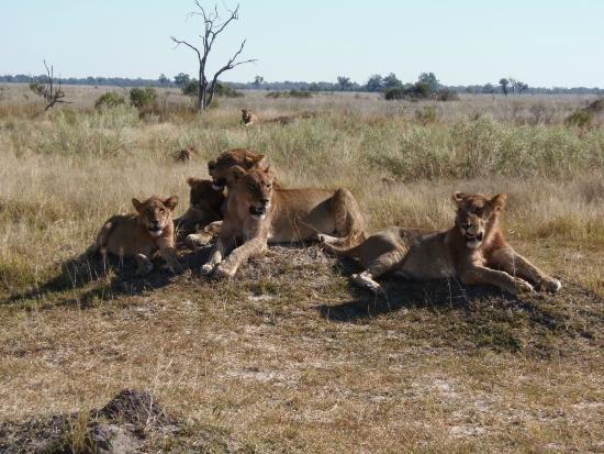 Chobe National Park, Botswana: Lions