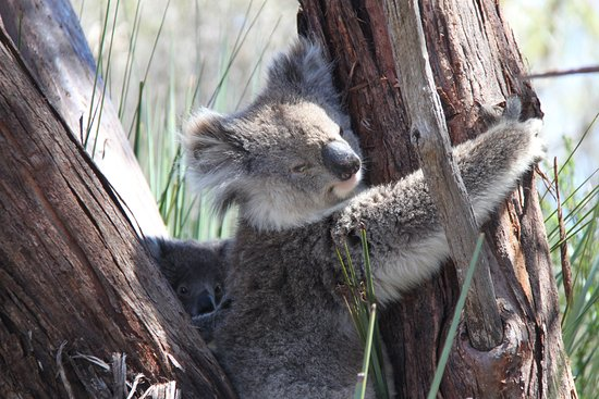 Kingscote, Australia: Mum and baby koala