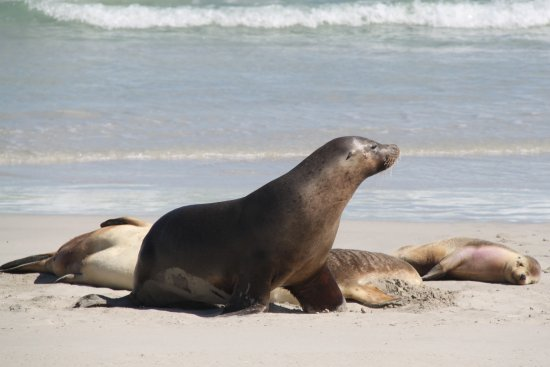 Kingscote, Australia: Sea lion