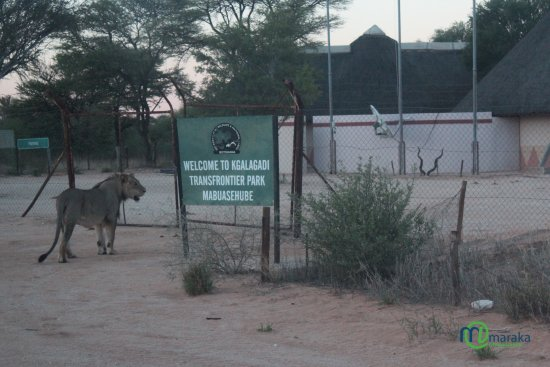 Kgalagadi Transfrontier Park, Botswana: A lion by the wildlife offices, Mabuasehube, rangers could not open offices