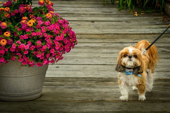 St. Michaels Harbour Inn, Marina & Spa : We are dog friendly! Ask us about our pet policies.