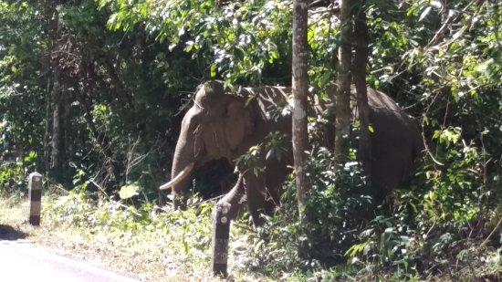 Pak Phli, Tajland: Bull elephant
