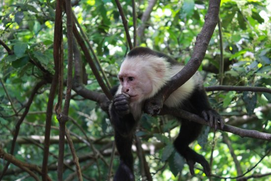 Artola, คอสตาริกา: White-faced monkey at park entrance