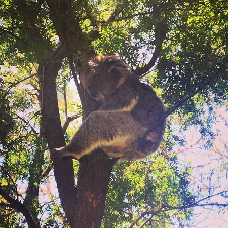 Cowes, Australia: Close koalas