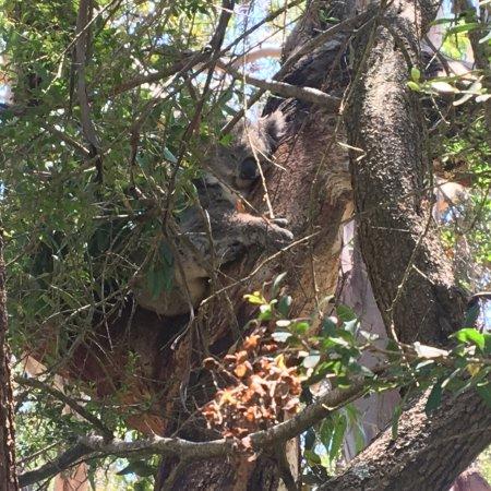 Cowes, Australia: Close koalas