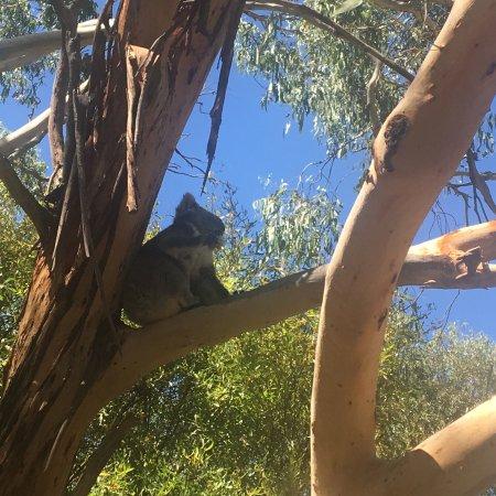 Phillip Island Nature Parks - Koala Conservation Centre: Close koalas