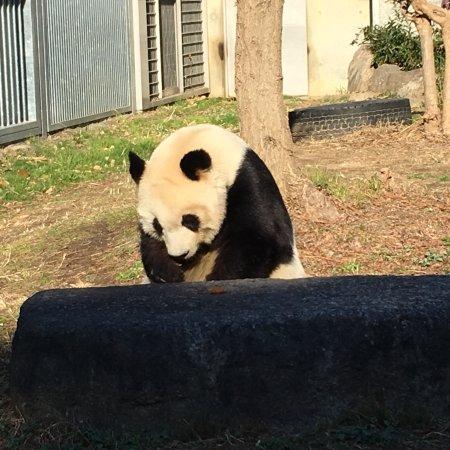 Kobe City Oji Zoo : 22歳のジャイアントパンダのタンタン