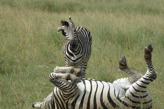 Reserva Natural de Moremi, Botsuana: Zebra in the Moremi Game Reserve