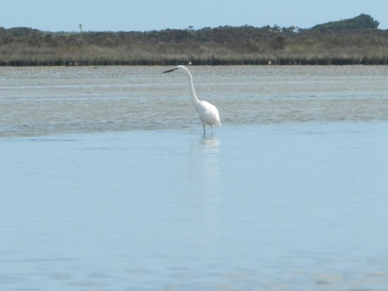 Okarito Kayaks: Great egret (known locally as White heron)