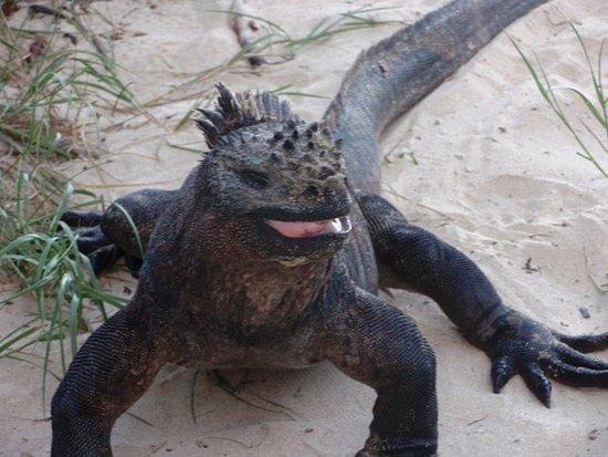 Puerto Villamil, Ecuador: Iguanas