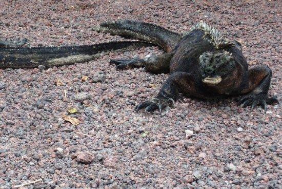 Concha de Perla: Iguana