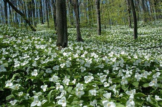 Omena, MI: woods in spring with trillium