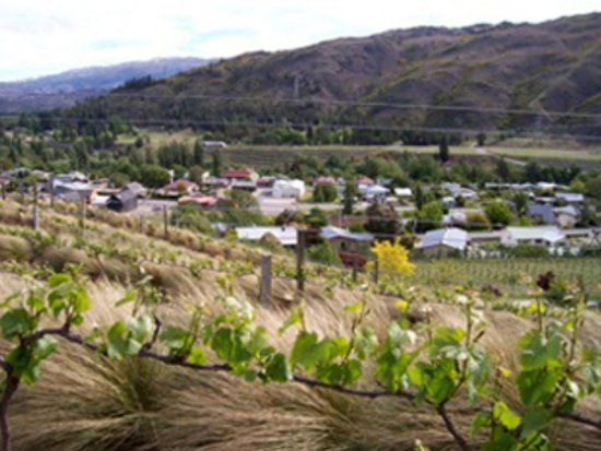 Clyde Village Vineyard: The vines