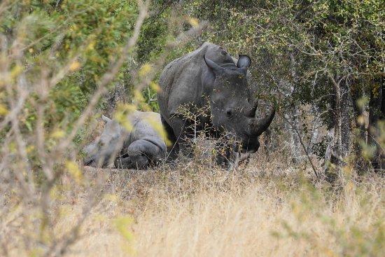 Nationaal Park Kruger, Zuid-Afrika: White Rhinos