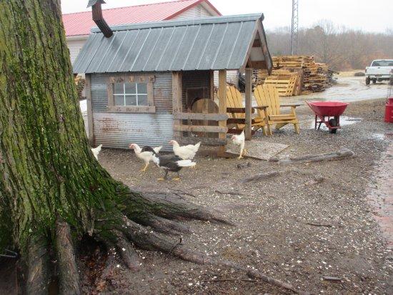 Georgetown, DE: Chicken roaming free in the area