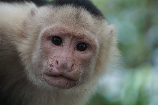 Tours Your Way: White faced monkey we found on River boat ride