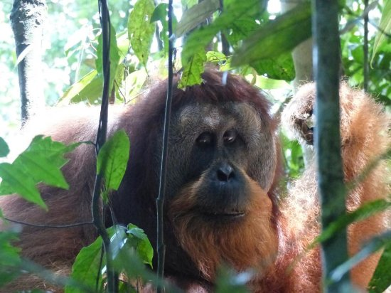Sumatra Orangutan Backpacker