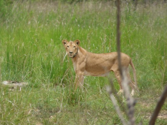 Segou, มาลี: Lion - Pendjari