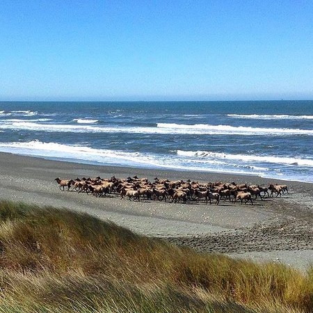ELK on the beach in Crescent City California