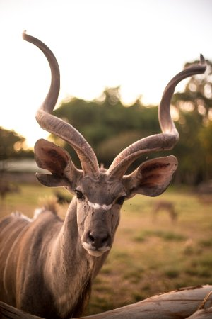 Wild Is Life Trust and ZEN: Kudu up-close and personal
