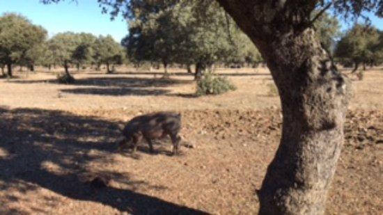 Villarreal de San Carlos, Spain: Cerdo ibérico comiendo bellotas