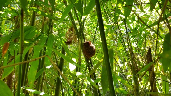 Corella, Filipinas: mono
