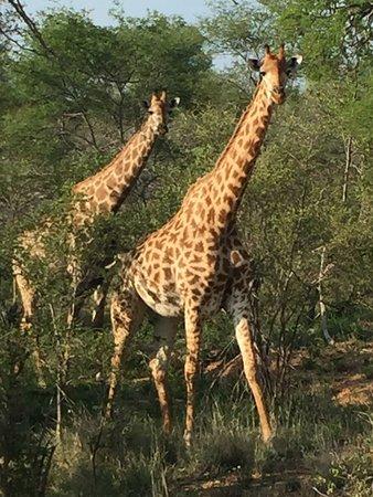 Частный заповедник Класери, Южная Африка: Game Drive