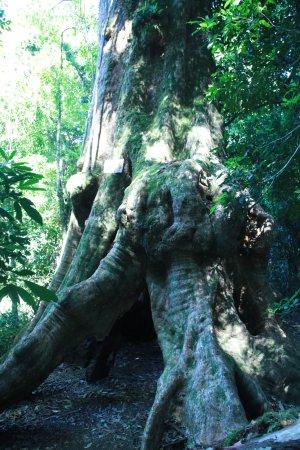 Lamington National Park, Australia: Walk under the tree