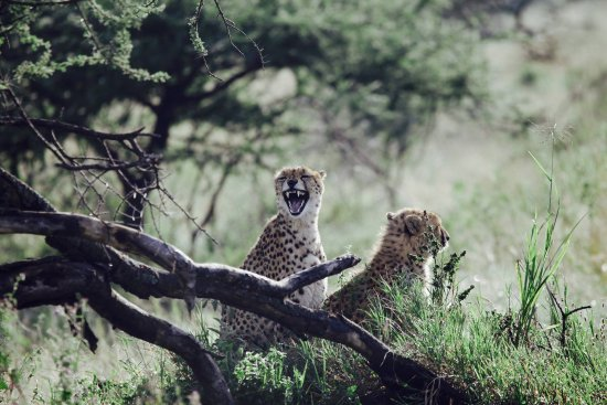 ‪‪Arusha National Park‬, تنزانيا: Cheetahs in the Serengeti‬