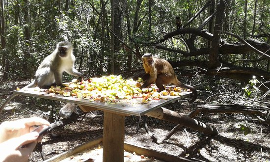 Monkeyland Primate Sanctuary: So many choices at feeding time