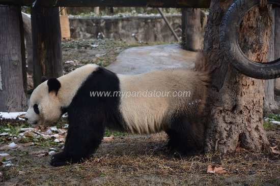 My Panda Tour (Chengdu) - 2019 All You Need to Know BEFORE