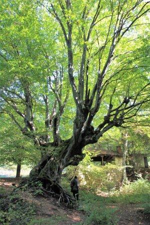Malko Tarnovo, Bulgaria: Interessante Baumformen