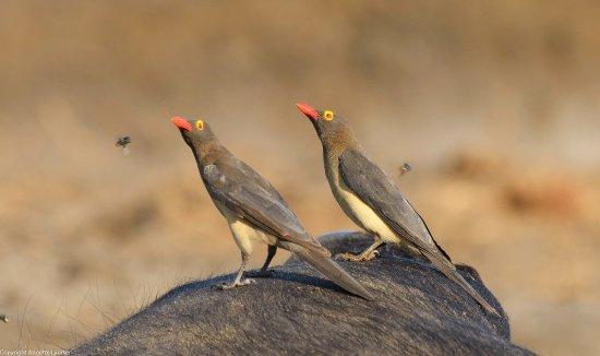 Caprivi Region, Namibia: dead buffalo