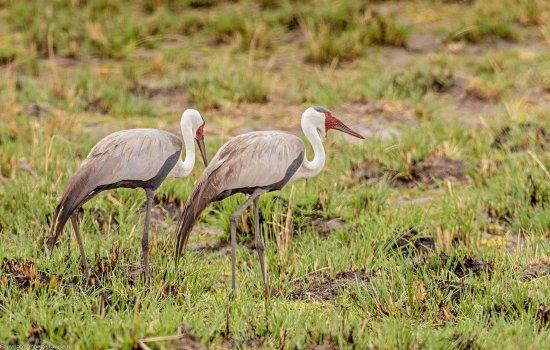 Caprivi Region, Namibia: Cranes