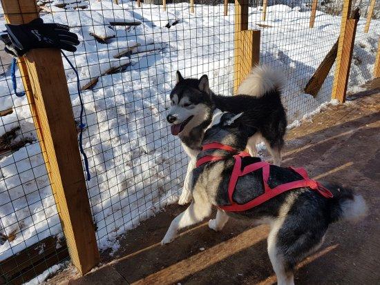 Хаски-центр: Собачки общительные, для детей великолепное общение.