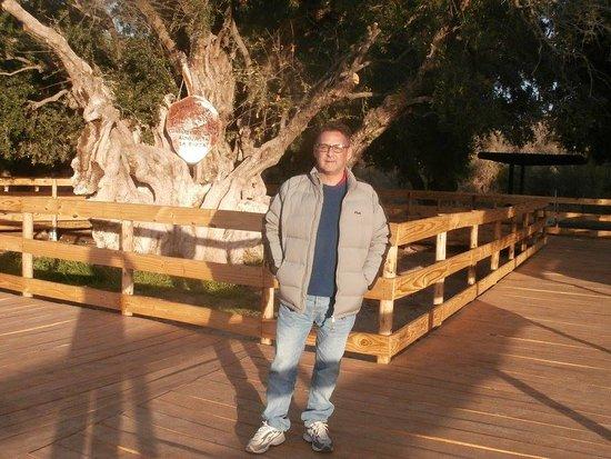 Aimogasta, La Rioja. Olivo Cuatricentenario.