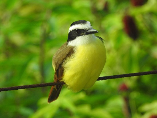Santa Elena, Belice: Snapped this photo of a Kiskadee from our room.