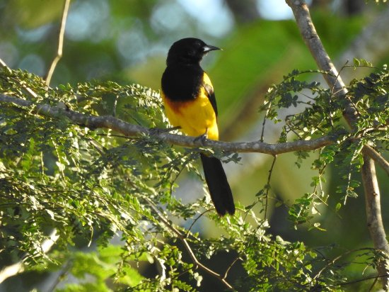 Santa Elena, Belice: Saw this Black-cowled Oriole from our room.