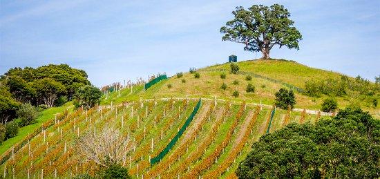 Остров Уаихеке, Новая Зеландия: The hill at Kennedy Point vineyard