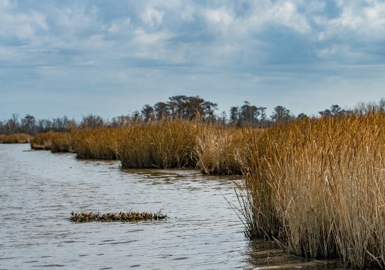 Marrero, LA: Reeds on the edge of the channel